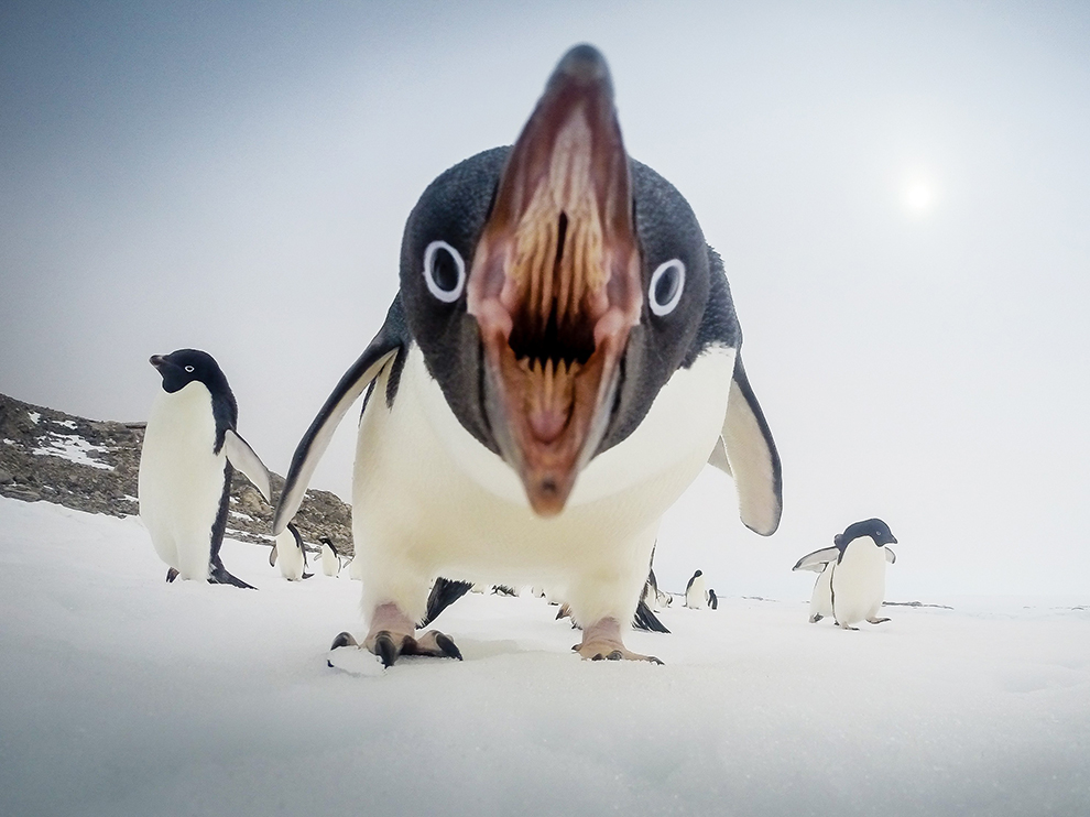 Picture of an Adelie penguin in Antarctica