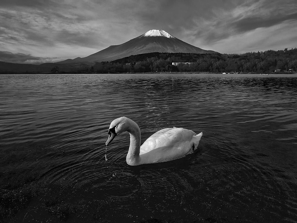 Picture of a swan swimming on Lake Yamanaka near Mount Fuji, Japan