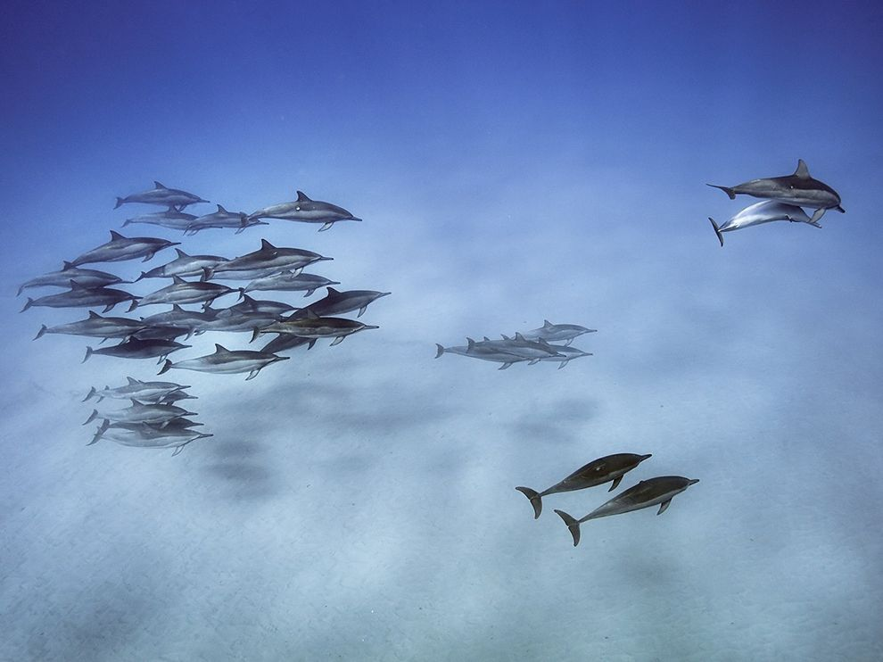 Picture of spinner dolphins off Oahu, Hawaii