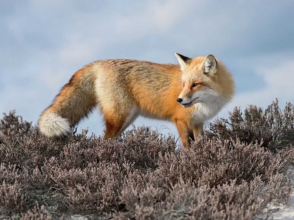 Picture of a red fox on the New Jersey shore