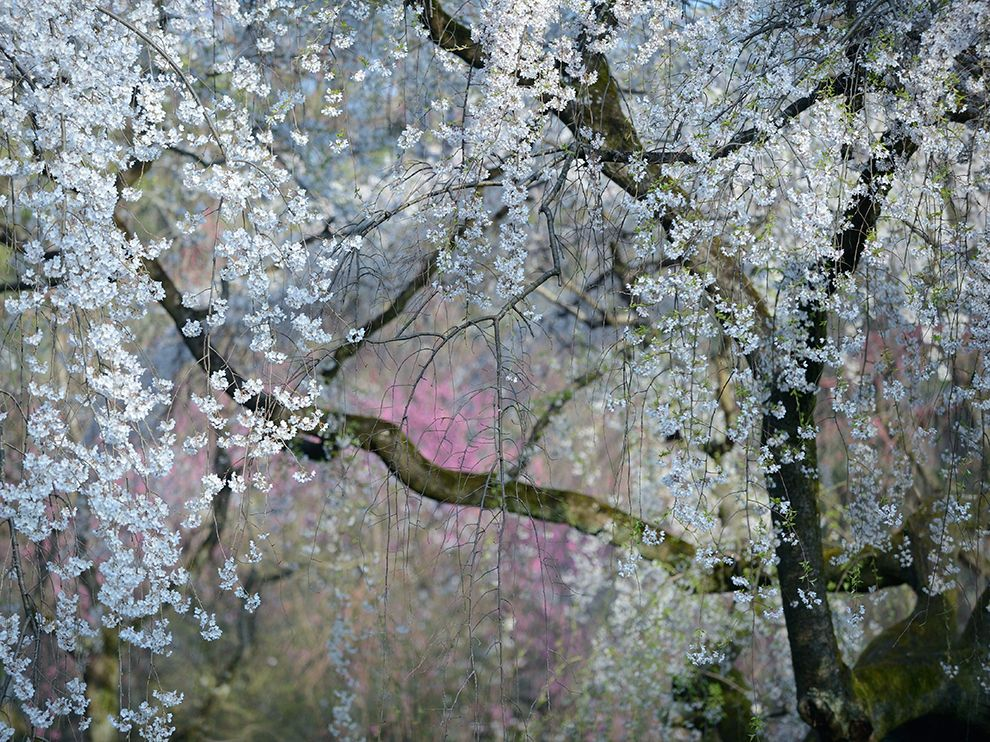 Picture of cherry blossoms at the Kyoto Imperial Palace in Japan