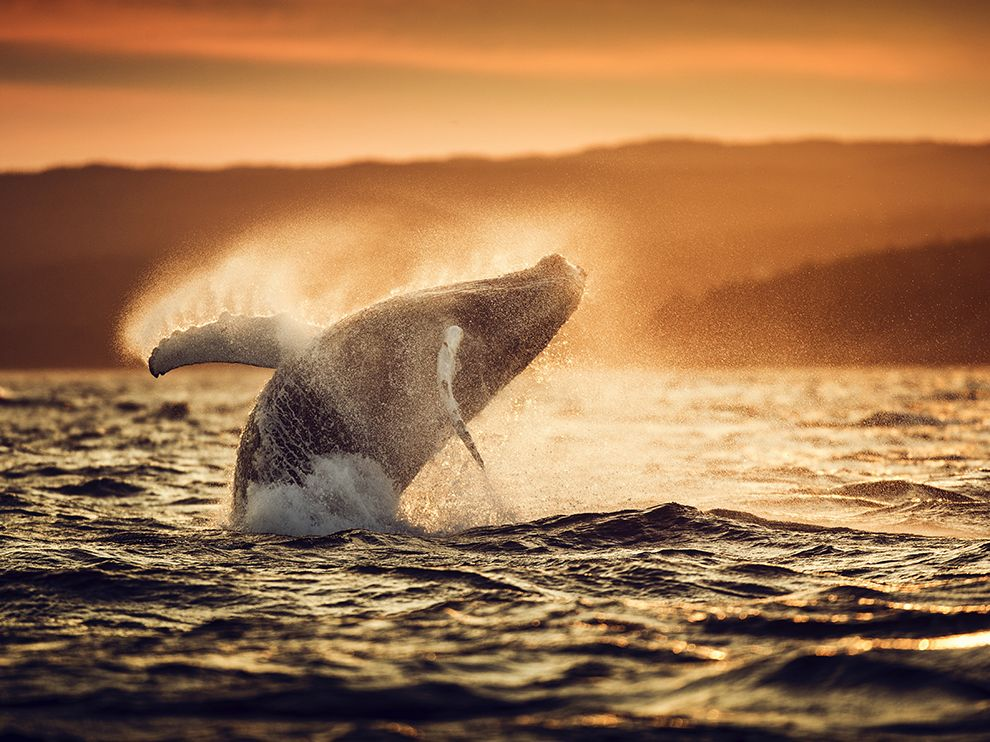 Picture of a humpback whale breaching in Witless Bay, Canada
