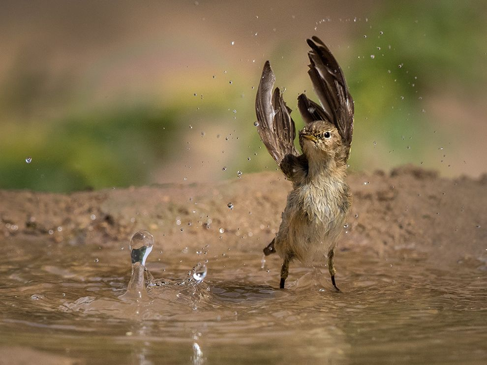 Picture of a willow warbler splashing in a fountain