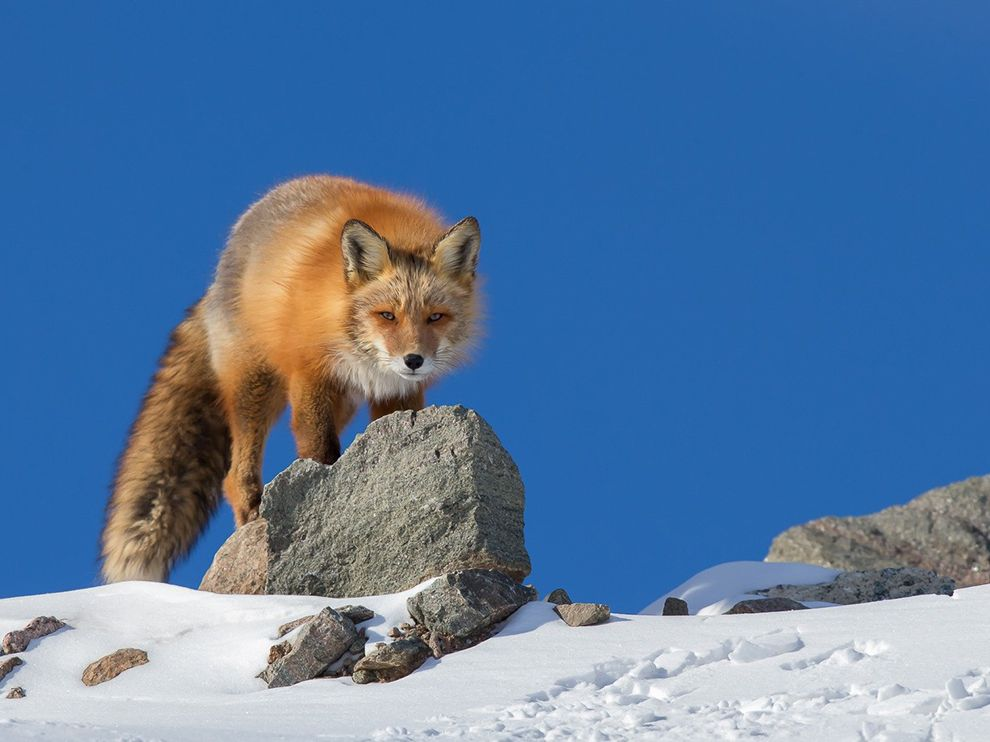 Picture of a red fox walking in the snow.