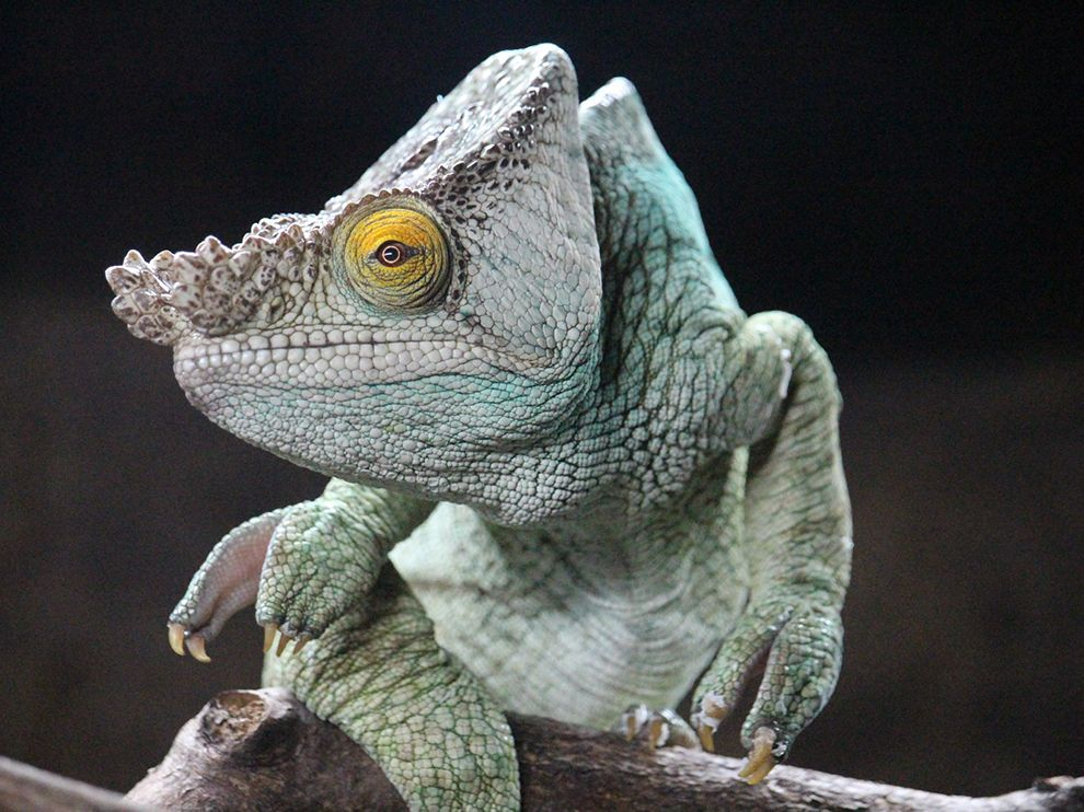 Picture of a chameleon