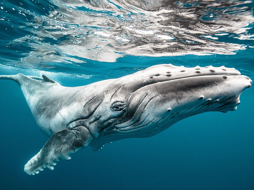 Picture of a baby humpback whale