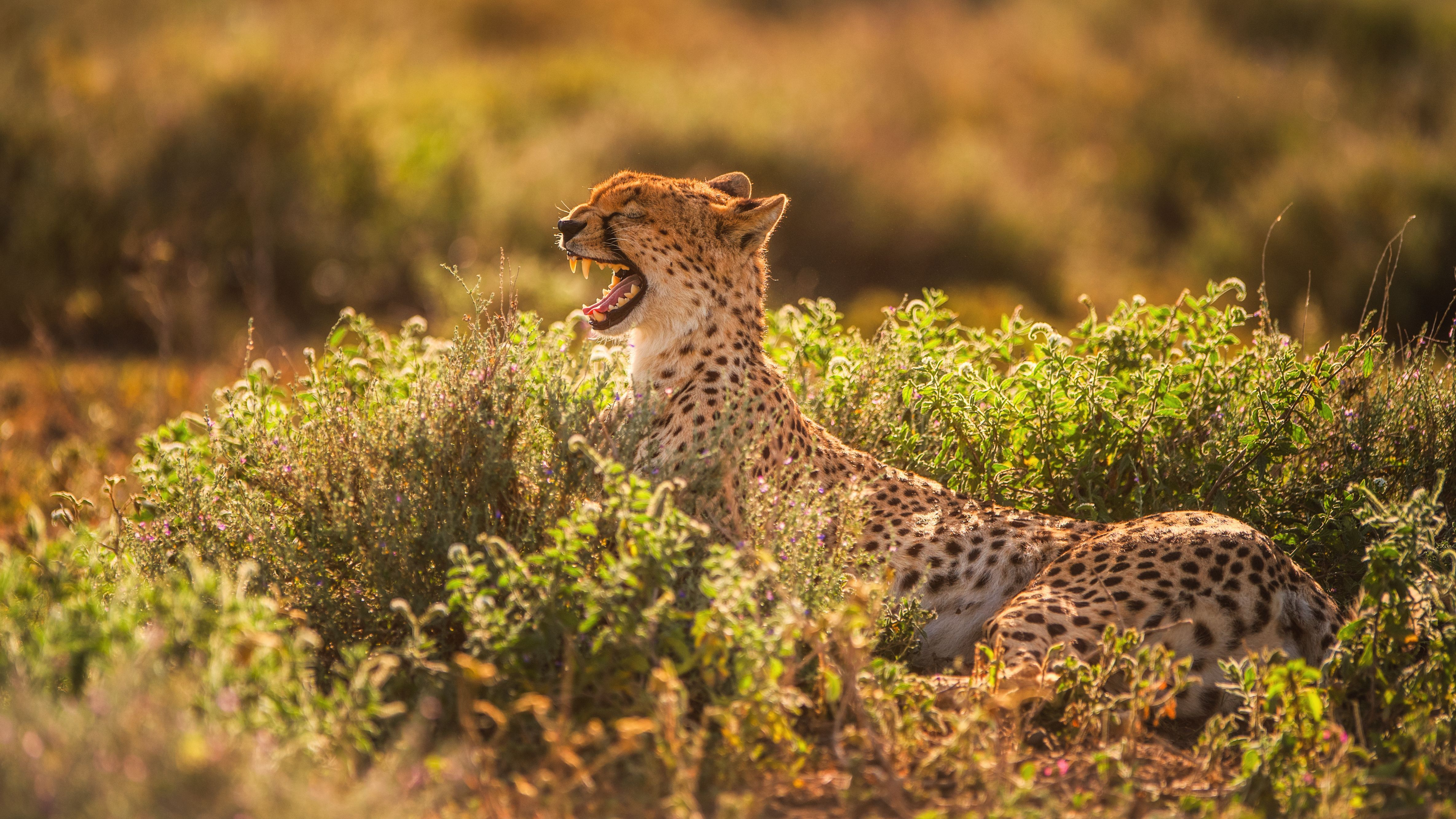 "A cheetah yawns while lounging in Tanzania's Ngorongoro Conservation Area. Cheetahs have gone extinct in three eastern African countries, and are listed as ""vulnerable"" in Tanzania. Threats to their survival include poaching, habitat loss, and a high rate of cheetah cub mortality."