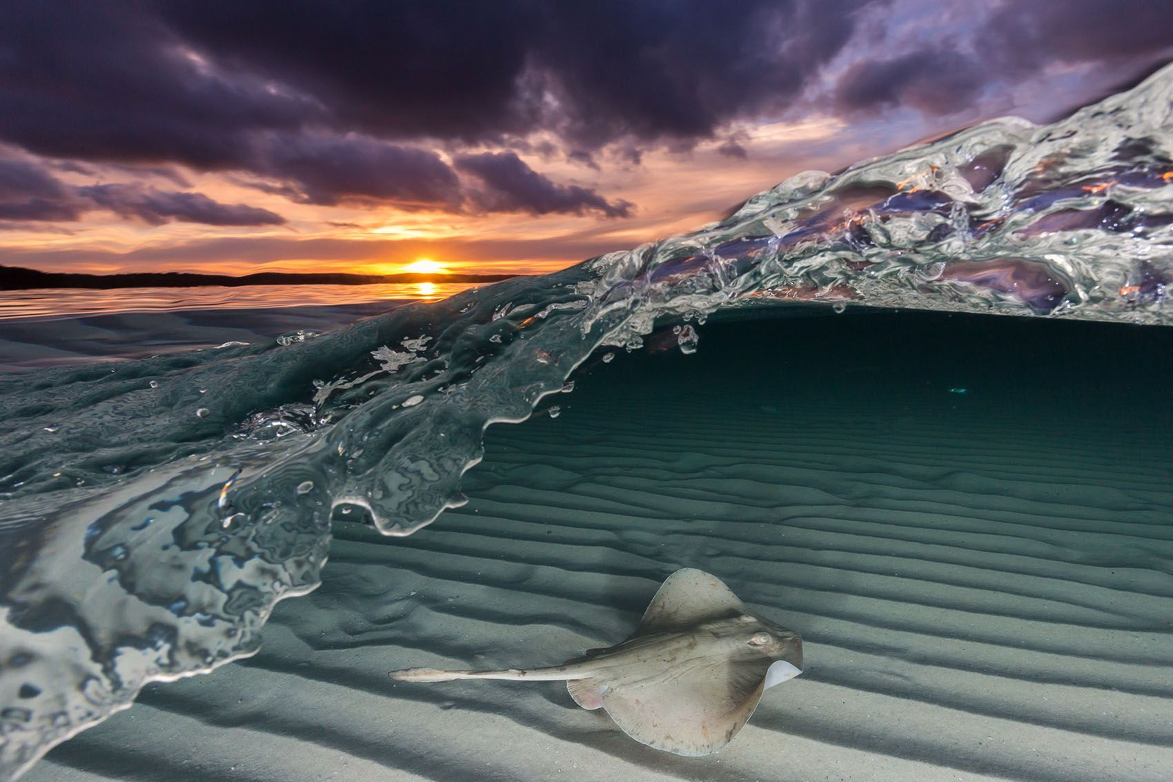 """""""Whilst out snorkelling late one afternoon on Jervis Bay [in Australia], I stumbled across this Common Stingaree gracefully gliding over the shallow sand flats,"""" says Your Shot photographer Jordan Robins. """"As the sun was setting, I managed to captured this over-under image where you can see above and below the water captured in a single exposure."""""""