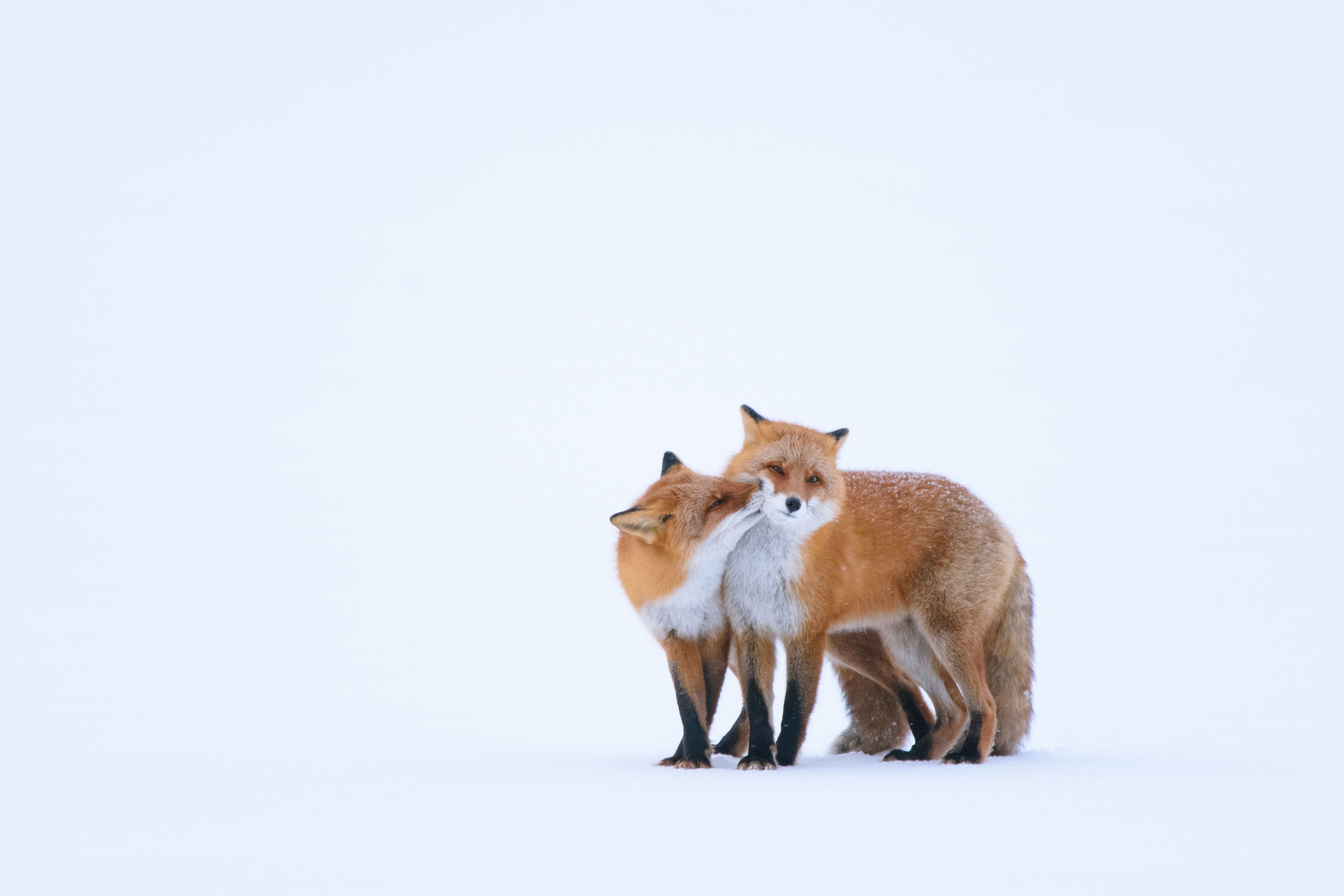 On Hokkaido, the northernmost of Japan's islands, two red foxes share a moment. Foxes, or kitsune, are common in Japanese folklore, often displaying magical properties.