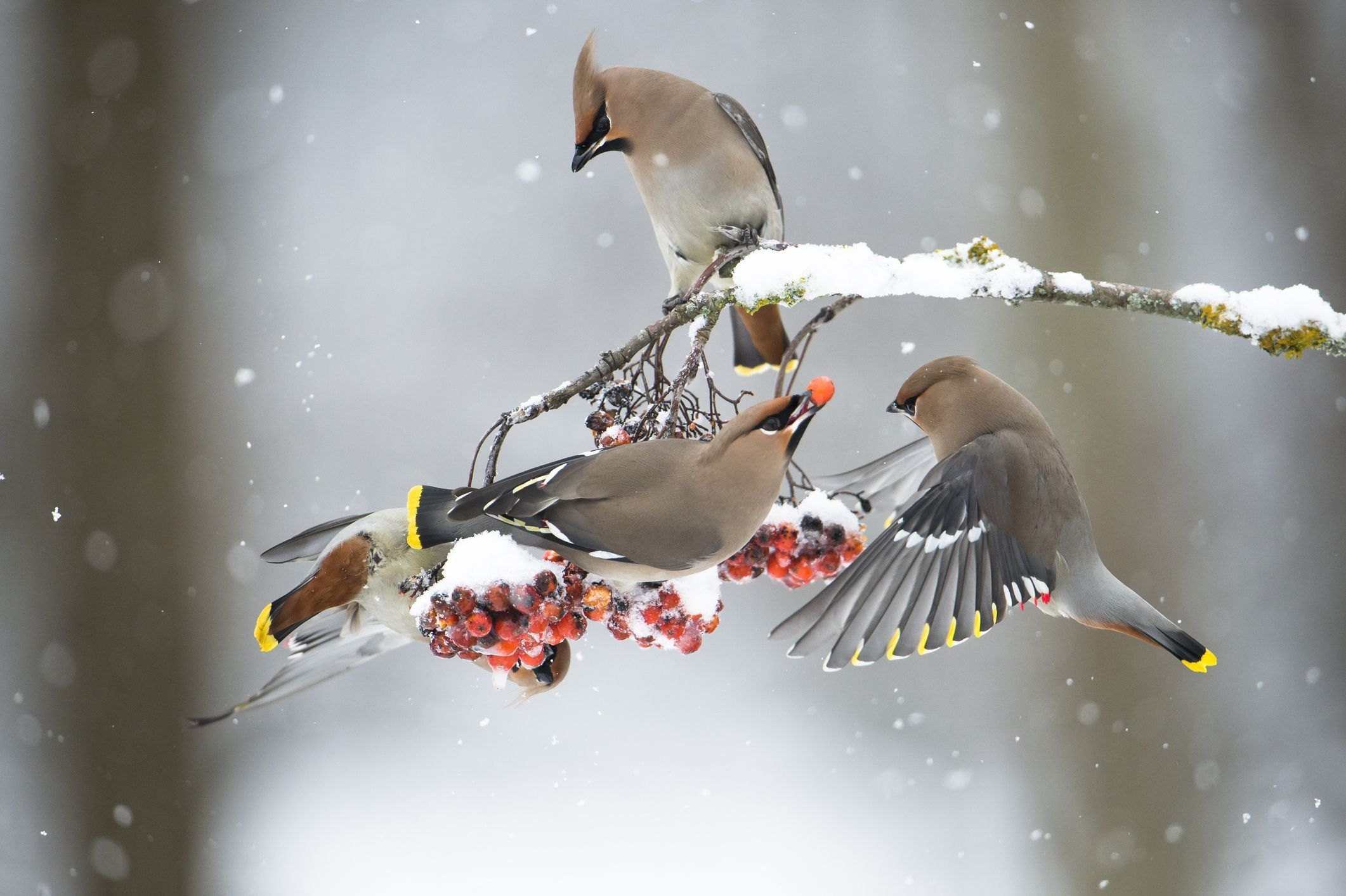 Cedar waxwings enjoy a buffet of berries in Minnesota. The sociable birds are often seen in groups, and will pass berries back and forth to each other before one decides to eat it.