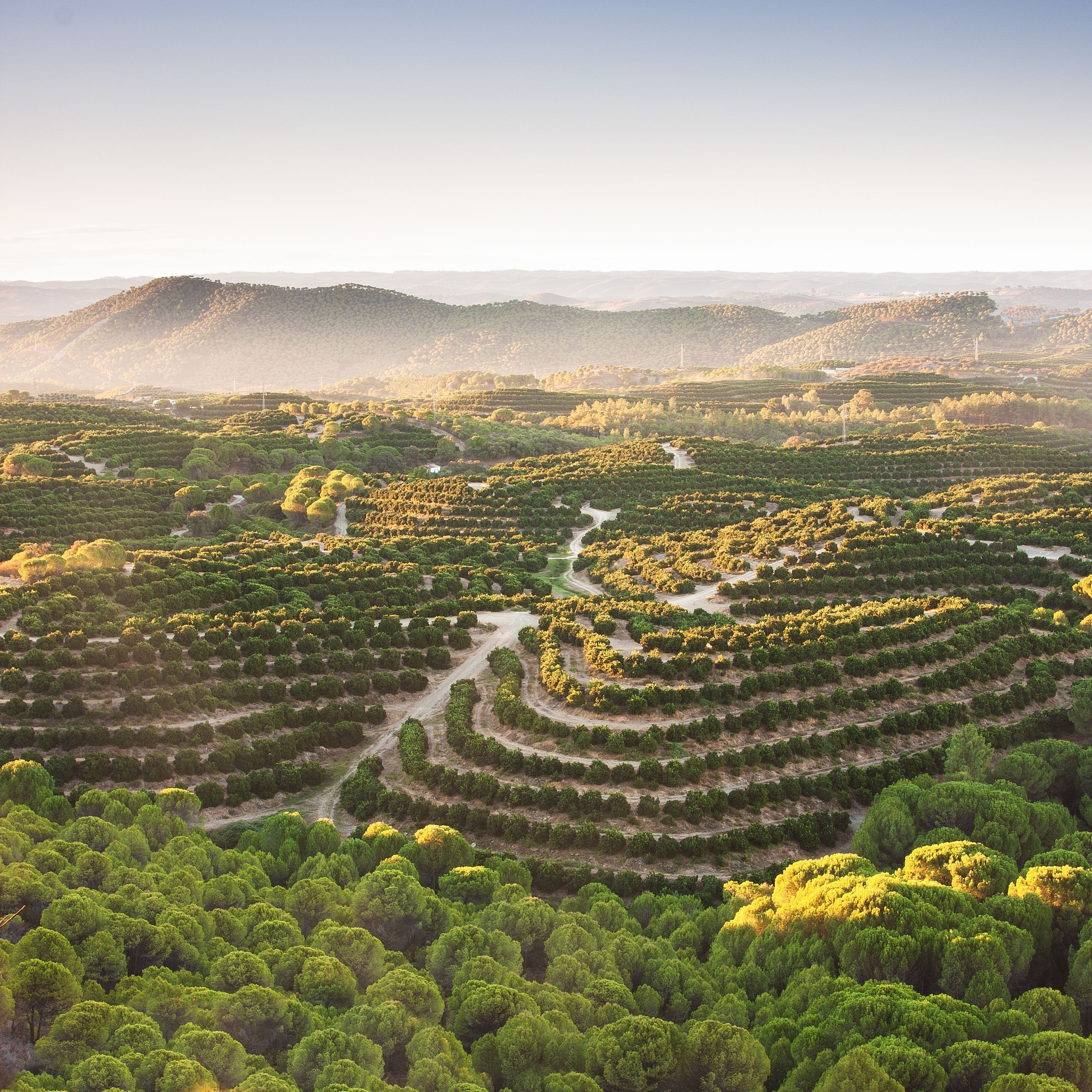 The morning sun sets this grove of orange trees aglow in Nerva, Andalucía, Spain. Spain produces the most citrus in all of Europe.