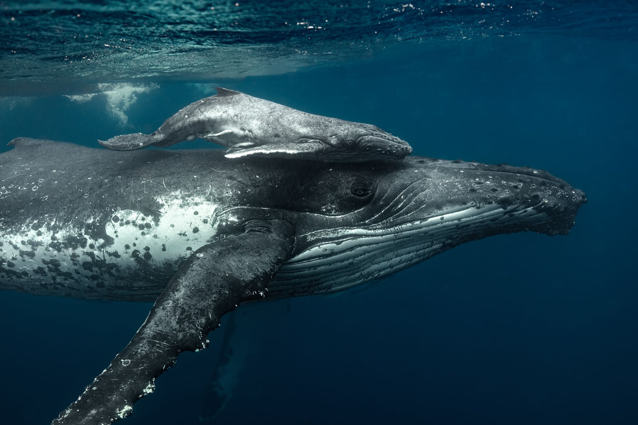 A humpback whale supports her very young calf near the ocean's surface. Though smaller than blue whales, humpback calves are born already about 10 feet long and weighing up to a ton.