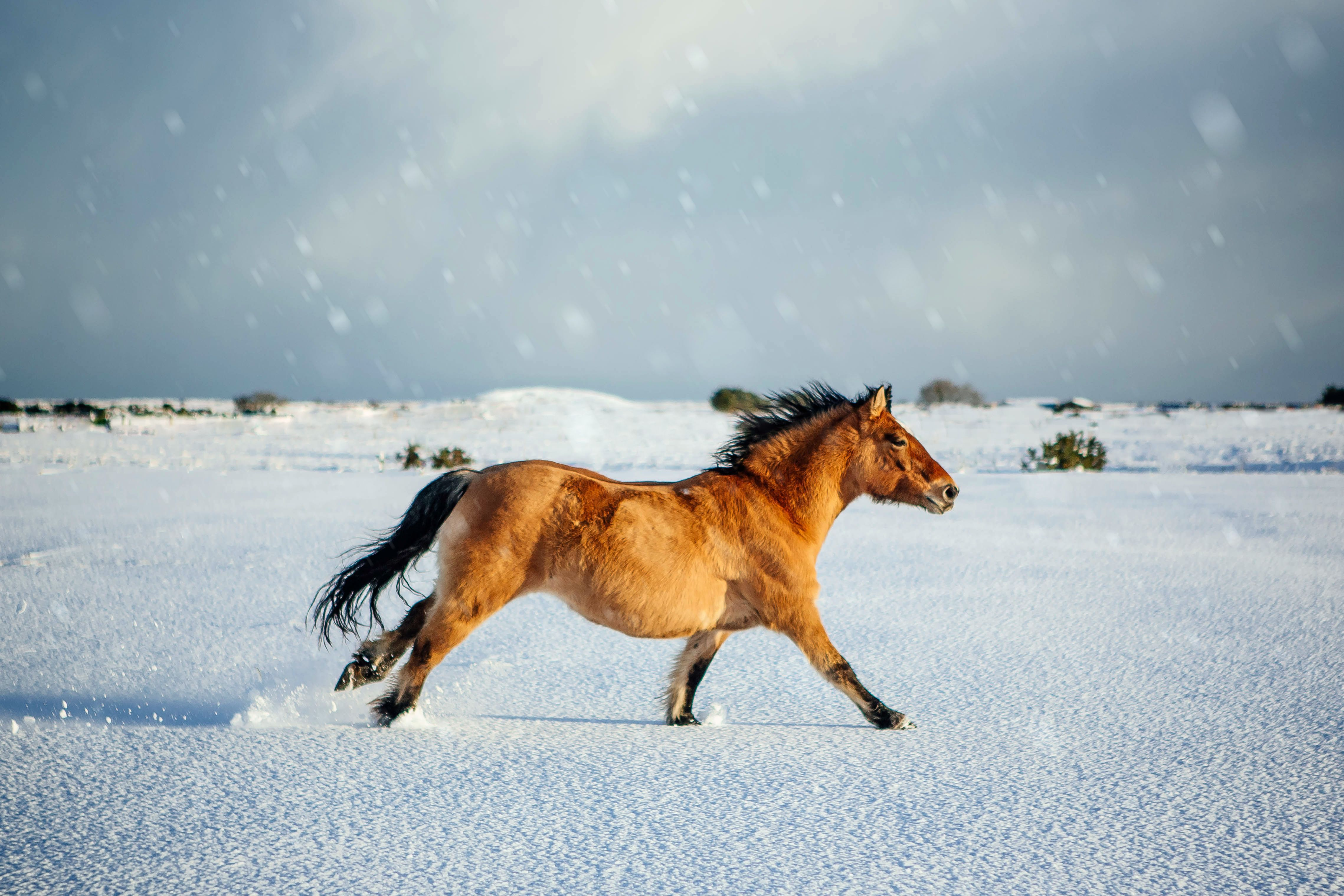 A highland pony gallops across snowy fields in the rural highlands of Scotland. Highland ponies are native to Scotland, their thick coats helping them withstand the harsh winters.