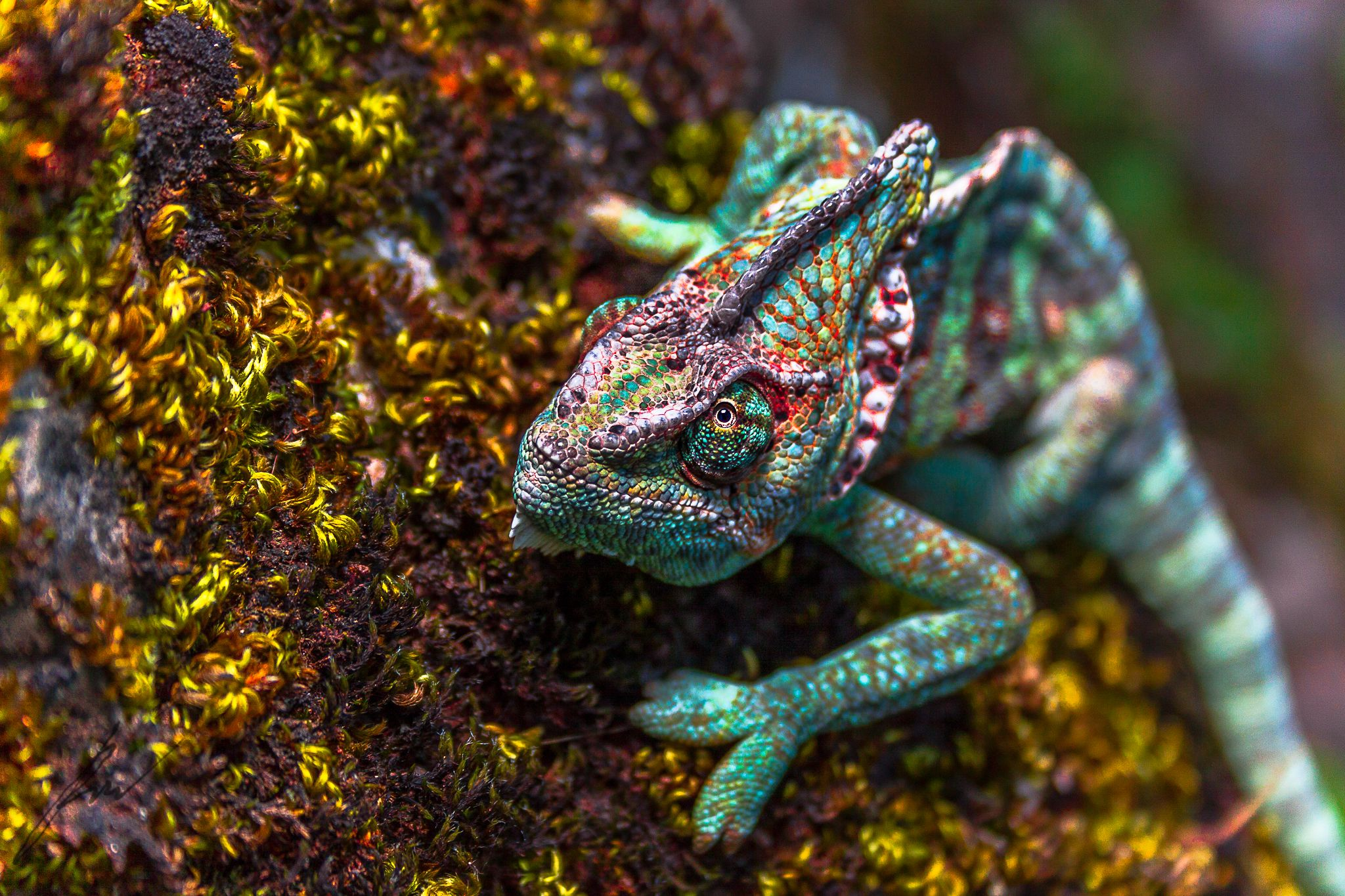 A pet chameleon's close-up reveals the bright colors of its scaly skin. The common assumption that chameleons change color to blend into their surroundings isn't the whole story: The reptiles' showy skin also communicates information to its potential enemies or mates.