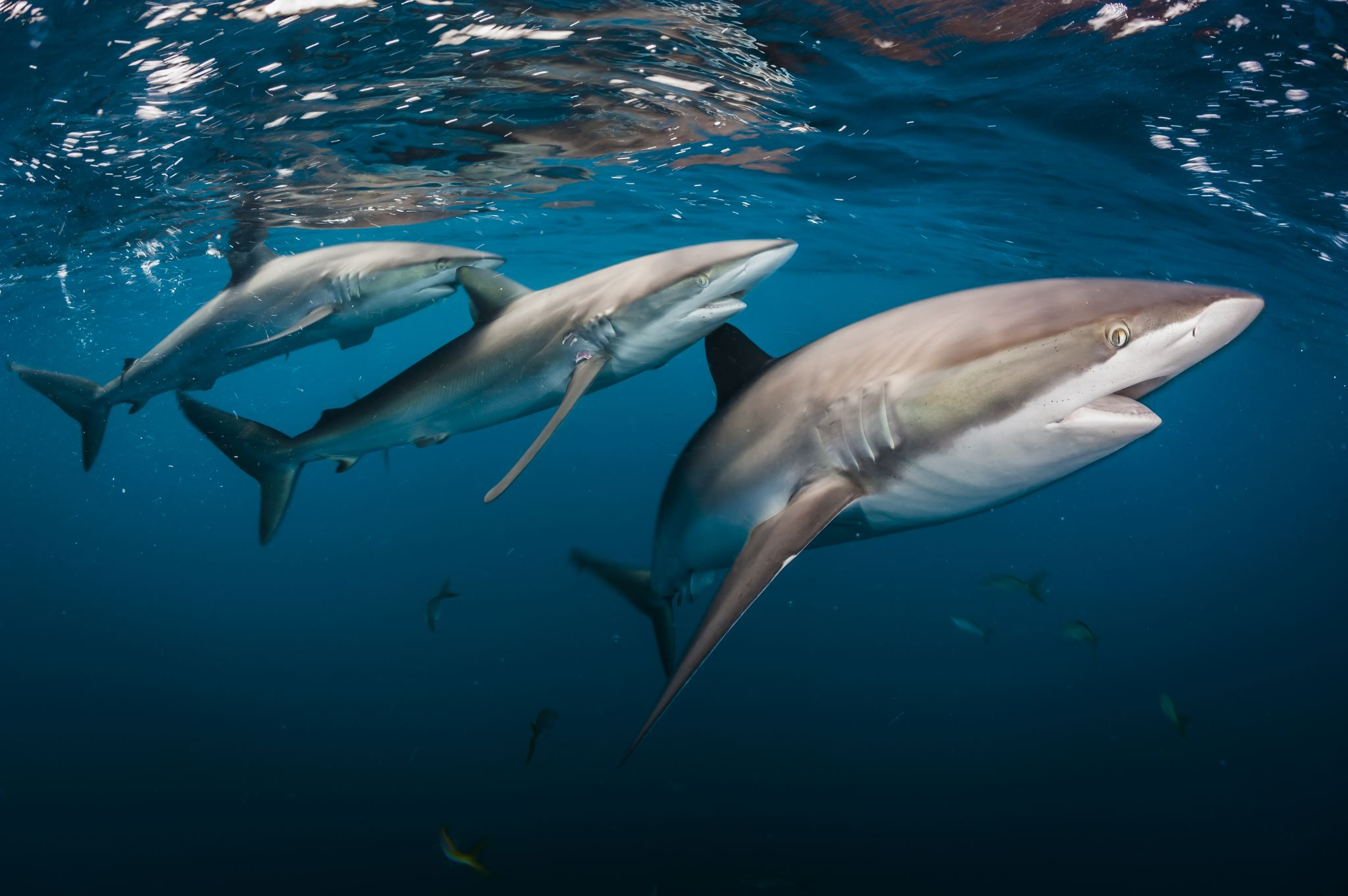 "A trio of silky sharks (Carcharhinus falciformis) gleams against the blue Caribbean Sea. Healthy coral reefs thriving off of Cuba's southern coast support a food chain that links plankton to predators. Buy a print of this photo. This photo was originally published in ""Cuba's Underwater Jewels Are in Tourism's Path."""