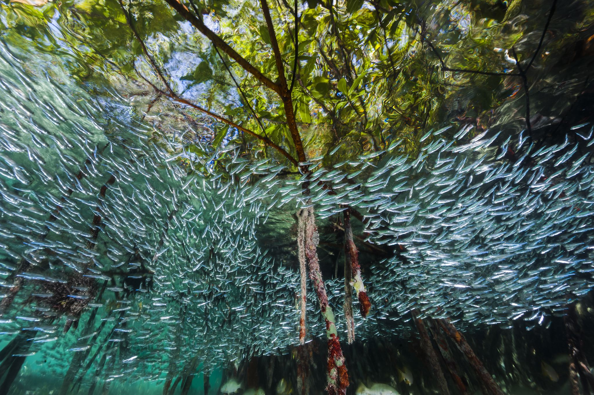 """Silversides swim through the mangroves of Cuba's Gardens of the Queen marine reserve, like a river in the sea. The dense forest of roots offers welcome shelter for the finger-size fish, which form large schools to try to confuse predators. Mangroves enhance reefs by providing a nursery area for vulnerable creatures and by trapping sediment that can smother coral. They also store carbon that might otherwise contribute to global warming. Buy a print of this photo. This photo was originally published in """"Cuba's Underwater Jewels Are in Tourism's Path."""""""