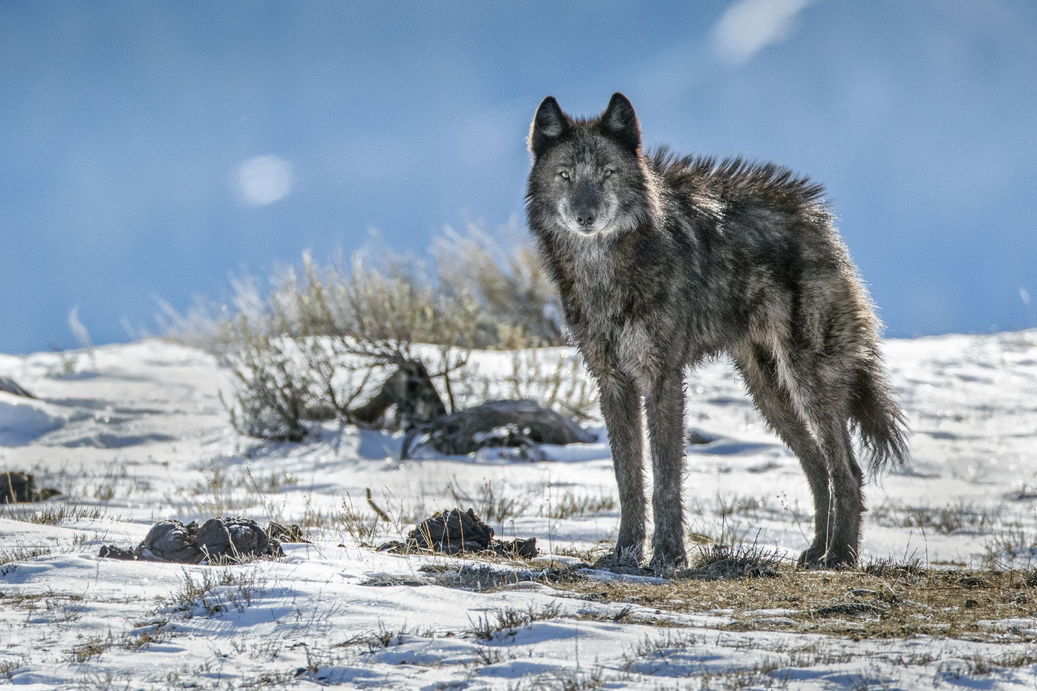 """A lone member of the Phantom Springs wolf pack stands tall in Grand Teton National Park. After an absence of about 70 years, wolves returned to the park in 1998, when they moved down from Yellowstone. Buy a print of this photo. This photo was originally published in """"The Yellowstone We Don't See: A Struggle of Life and Death."""""""